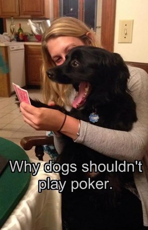 dog plays poker
